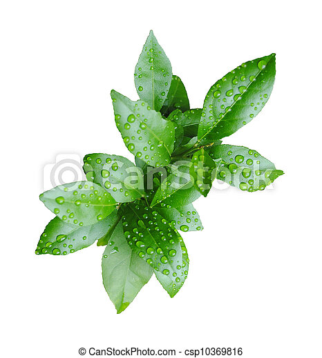 Fresh green lemon leaves with water drops - csp10369816