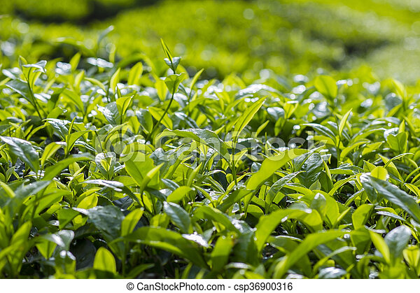 fresh green tea - csp36900316