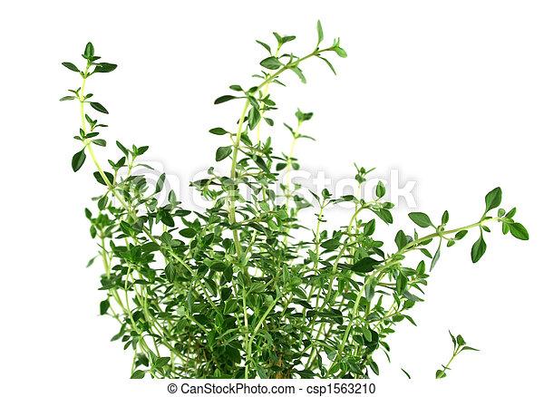 Fresh Herbs Thyme 2 - csp1563210
