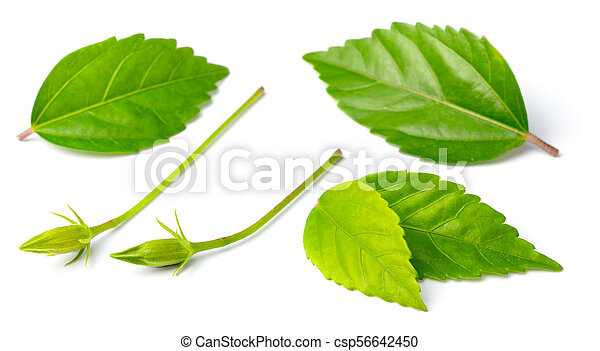 Fresh Hibiscus Leaves Isolated On White Background