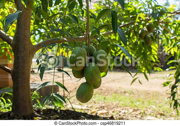 Fresh hog plum growing on a treeotaheite apple rings stock