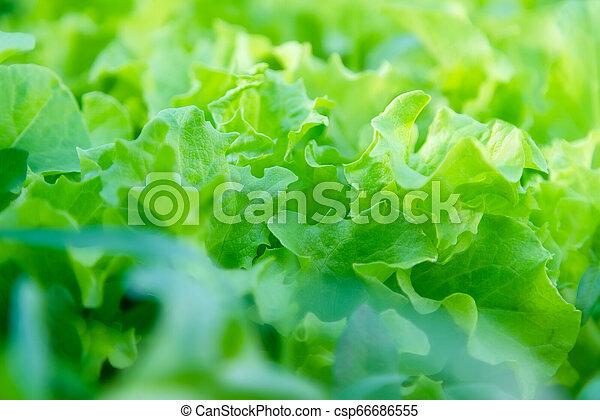 Fresh home grown lettuce. Growing organic vegetables. Urban farm - csp66686555