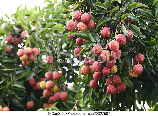 Image result for lichi