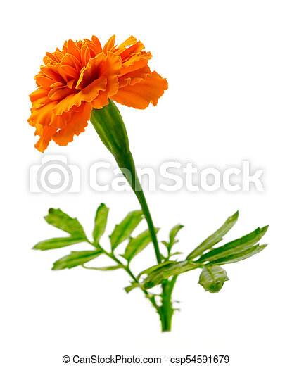 Fresh marigold flower isolated on the white background fresh orange fresh marigold flower isolated on the white background csp54591679 mightylinksfo