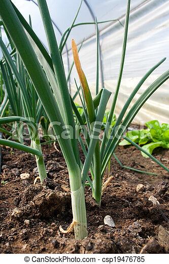 Fresh onion  - csp19476785