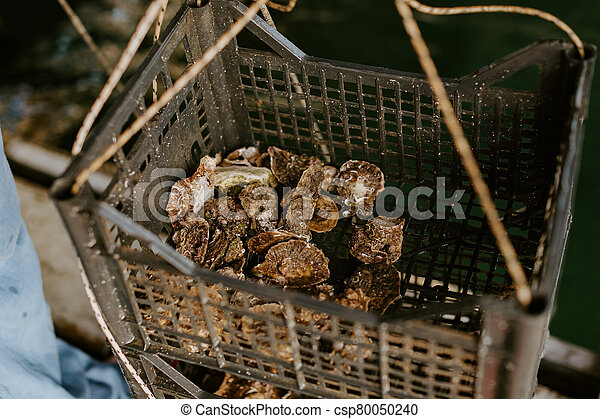 Fresh oysters caught in farm box - csp80050240