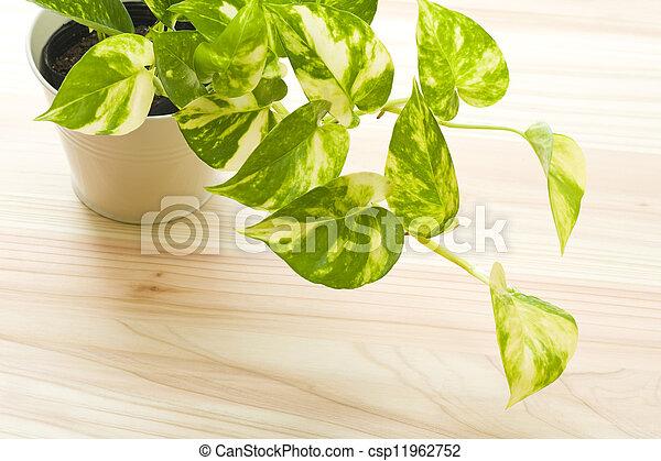 fresh pothos of houseplant - csp11962752