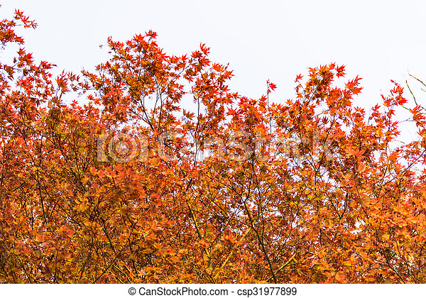 Fresh red acer tree leaves in springtime - csp31977899