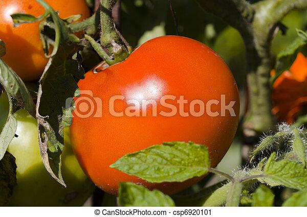 fresh red tomatoes - csp6920101