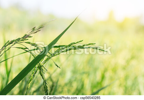 Fresh rice field on leaves natural background. - csp56540285