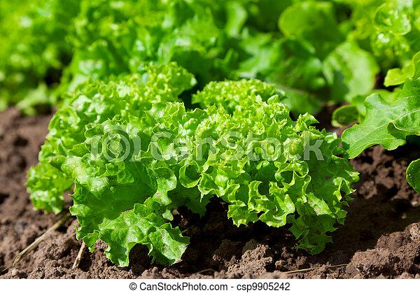 fresh salad /vegetable garden/lettuce plantation - csp9905242