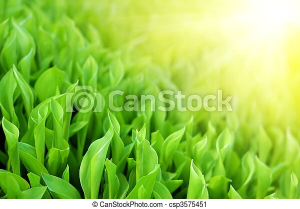 Fresh spring green grass in shine sunlight - csp3575451