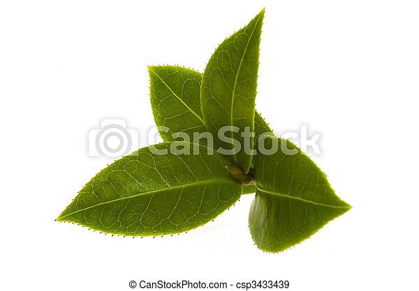 fresh tea leaves - csp3433439