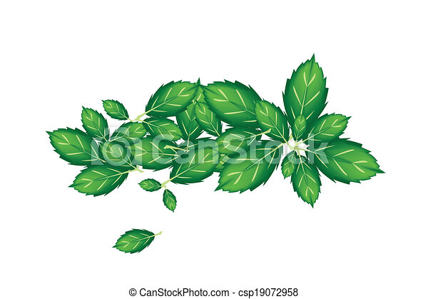 Fresh Thai Basil Leaves on White Background - csp19072958