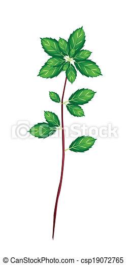 Fresh Thai Basil Plant on White Background - csp19072765