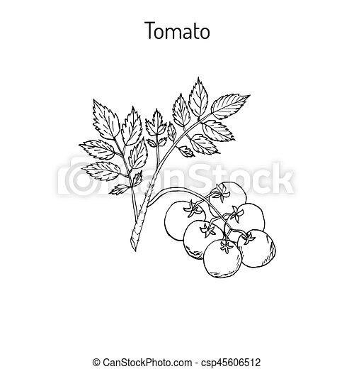 Fresh tomato branch - csp45606512