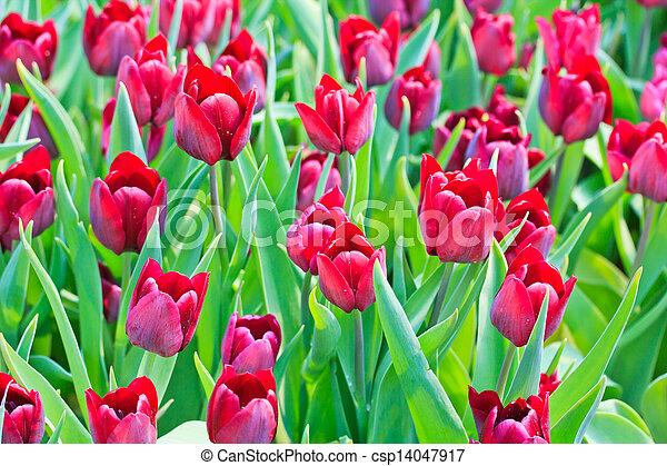 Fresh tulips in garden beautiful - csp14047917