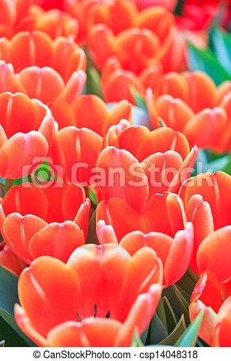 Fresh tulips in garden beautiful - csp14048318