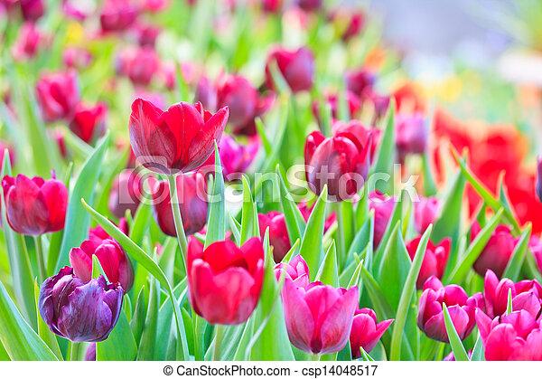 Fresh tulips in garden beautiful - csp14048517