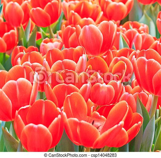 Fresh tulips in garden beautiful - csp14048283