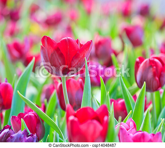 Fresh tulips in garden beautiful - csp14048487