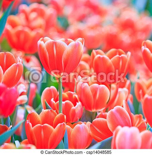 Fresh tulips in garden beautiful - csp14048585