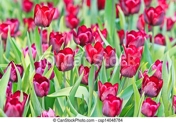 Fresh tulips in garden beautiful - csp14048784
