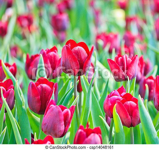 Fresh tulips in garden beautiful - csp14048161