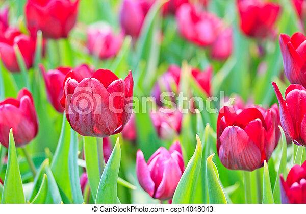 Fresh tulips in garden beautiful - csp14048043