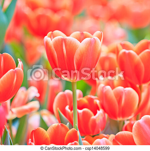 Fresh tulips in garden beautiful - csp14048599