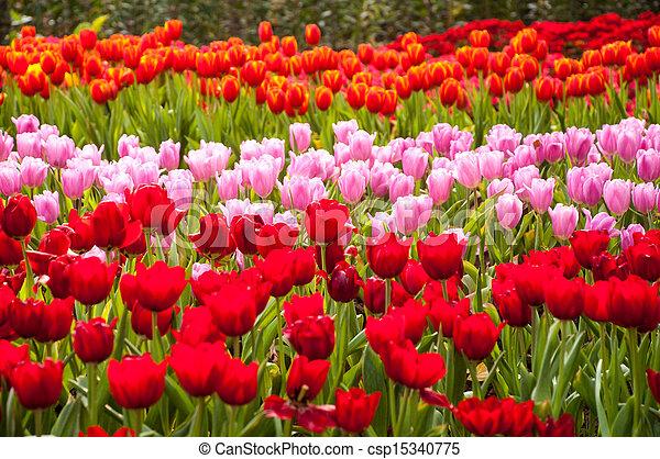 fresh tulips in garden - csp15340775