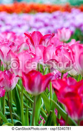 fresh tulips in garden - csp15340781