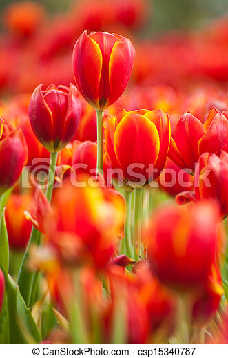 fresh tulips in garden - csp15340787