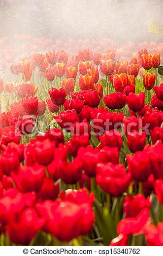 fresh tulips in garden - csp15340762