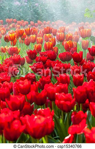 fresh tulips in garden - csp15340766