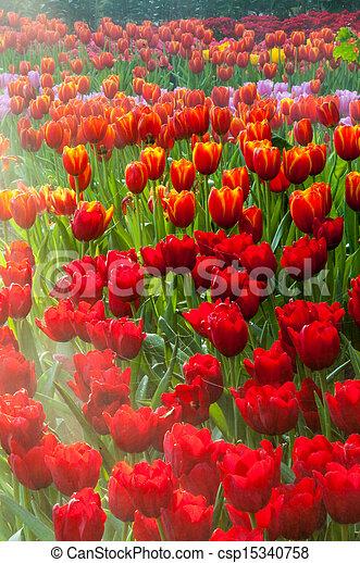 fresh tulips in garden - csp15340758