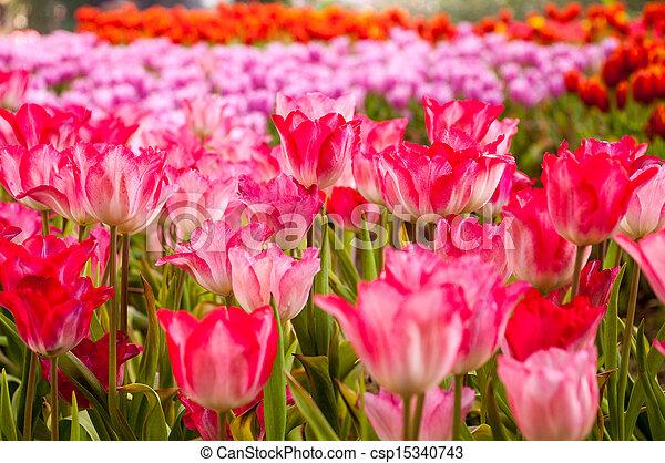fresh tulips in garden - csp15340743