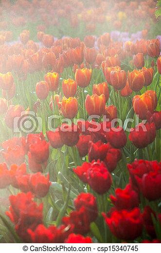 fresh tulips in garden - csp15340745