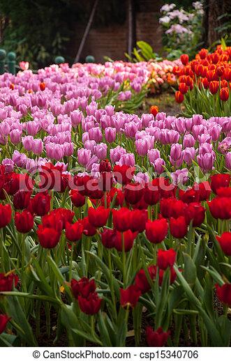 fresh tulips in garden - csp15340706