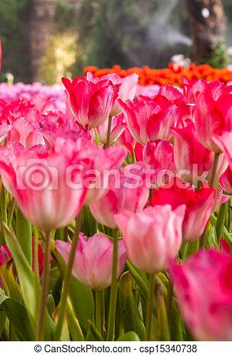fresh tulips in garden - csp15340738