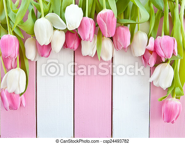 Fresh tulips on pink and white - csp24493782