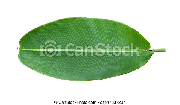 Fresh whole banana leaf isolated on white background - csp47837207
