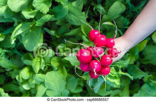 Freshly harvested home grown radish. Growing organic vegetables. - csp66686557