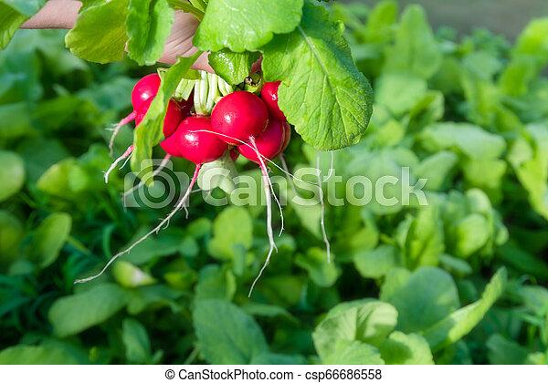Freshly harvested home grown radish. Growing organic vegetables. - csp66686558