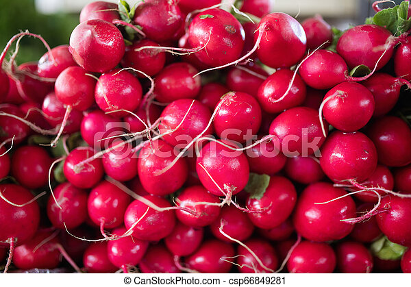 Freshly harvested, purple colorful radish. Growing radish. Growing vegetables. - csp66849281