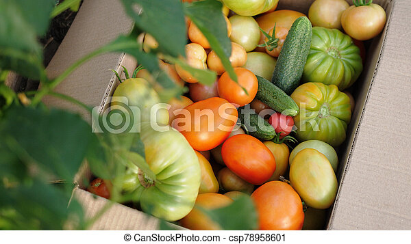 Freshly harvested tomatoes and cucumbers in a box in greenhouse. Top of view - csp78958601