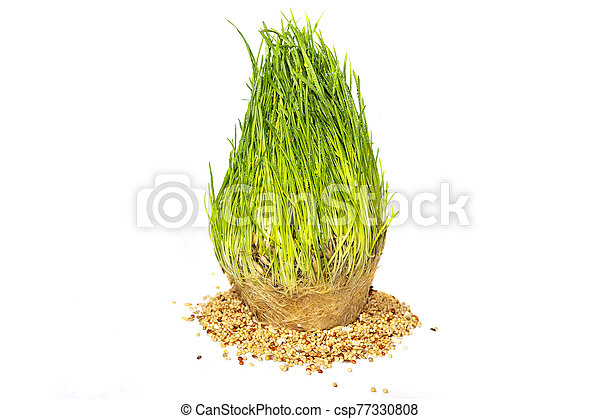Freshly sprouted grass and seeds isolated on white background - csp77330808