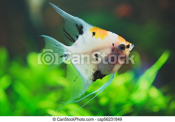 Freshwater Angelfish | Freshwater Angelfish In Home Aquarium Pterophyllum