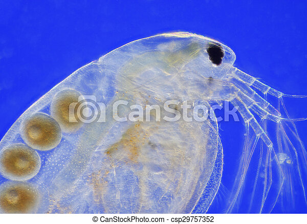 Comps Canstockphoto Com Freshwater Water Flea Daph