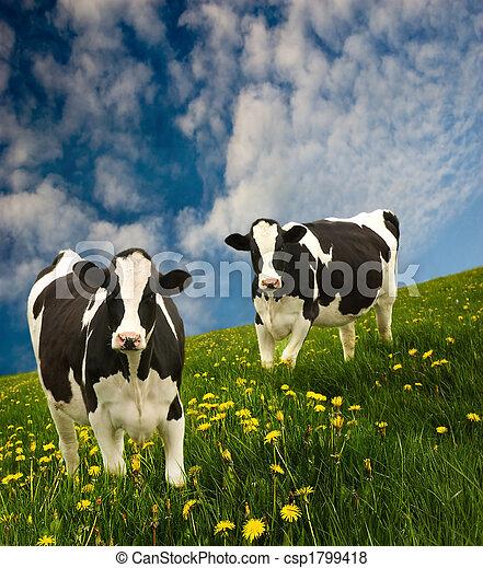 Friesian Cows  - csp1799418